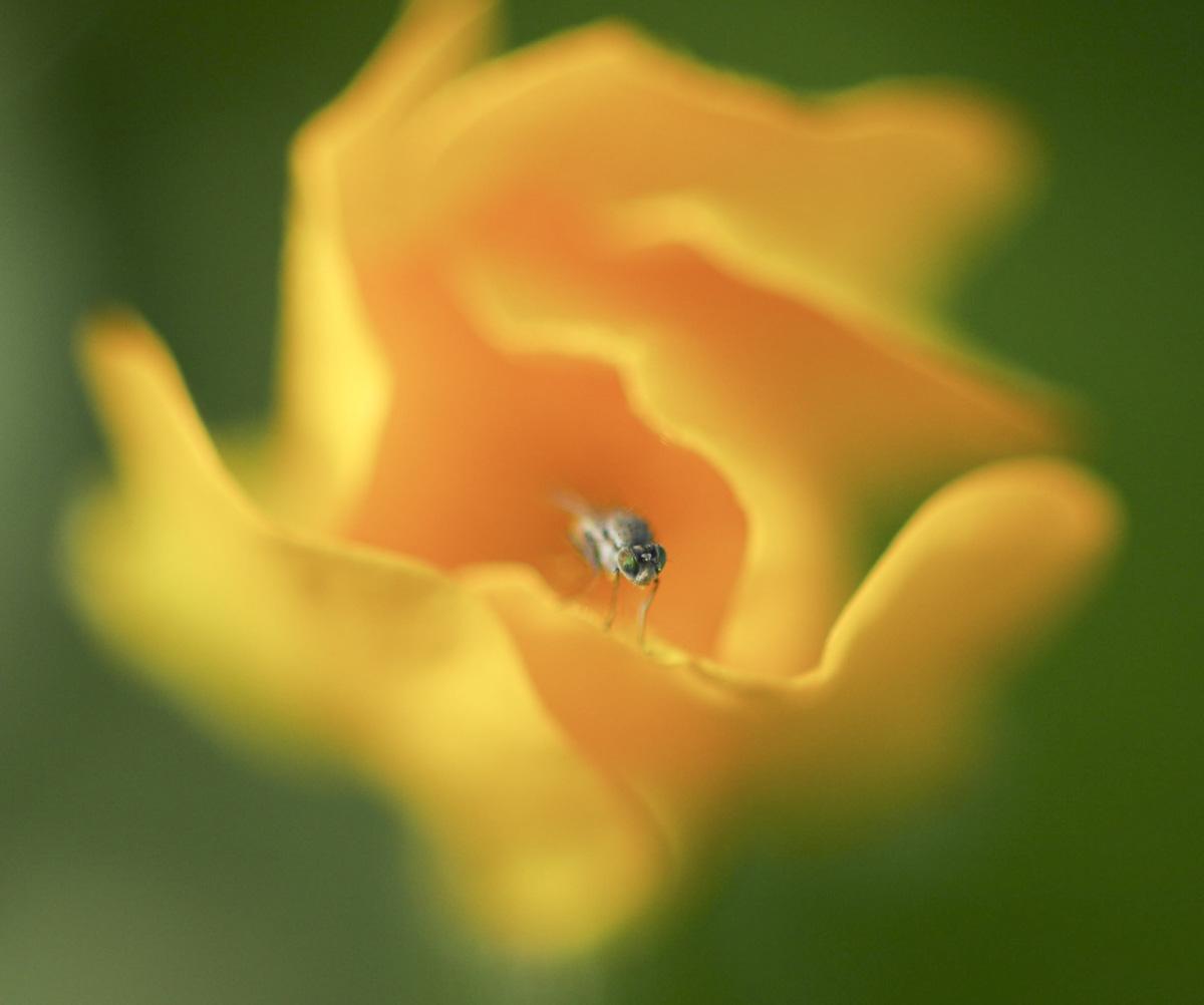 mouche-jaune